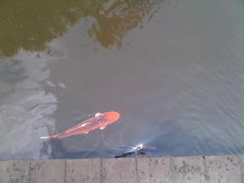 Koi in lake